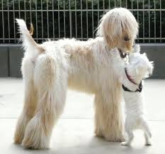 does an afghan hound shed dog breeds a z the complete guide
