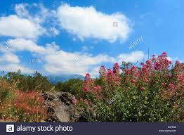 volcano flowers mount etna and flowers stock photos mount etna and flowers stock