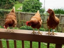 Chickens In The Backyard by D C Area Residents Egg On Their County Officials Over Backyard