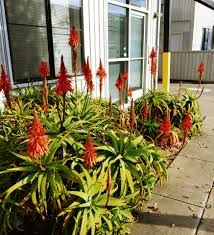 13 succulents that are native berkeley succulents in full bloom cactus jungle