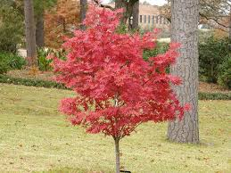 Green Vase Japanese Zelkova Ingar U0027s Top 10 Trees For A Landscape In The South The Home