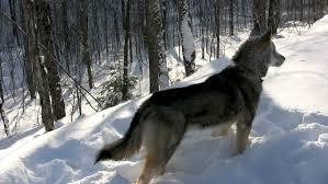 australian shepherd wolf australian shepherd enjoying winter playing in the snow and