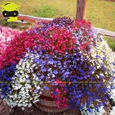 online buy wholesale lobelia flowers from china lobelia flowers