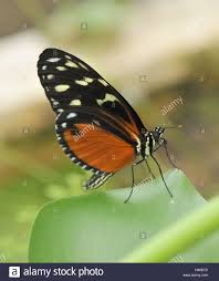 tiger butterfly side view stock photo 123073313 alamy