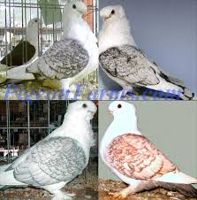fancy pigeons for sale all pigeon breeds available in los
