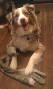 australian shepherd youtube 1413 best aussies and agility images on pinterest aussies