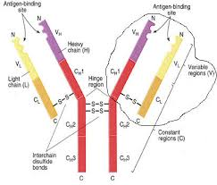 heavy chain light chain immunoglobulin