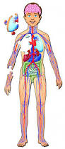 Female Anatomy Organs Female Anatomy For Kids Female Reproductive System Front View For