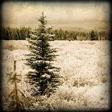 christmas tree in a pine tree forest in a snow covered field in