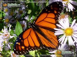 monarch butterfly 7 jpg