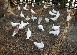 ornamental pigeons stock photo picture and royalty free image