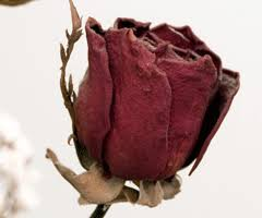 dried roses tips for creating spectacular dried roses doityourself diy