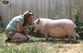 Backyard Pig Why Sheldon The Pig Might Be Evicted From His Home In The Suburbs