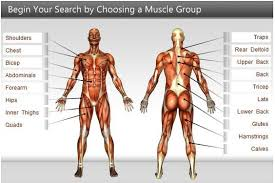 Human Anatomy Muscle Exercises For Different Muscle Groups Click The Image Men U0027s