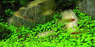 Aquascape Fish Understanding Iwagumi Aquascaping Style The Aquarium Guide