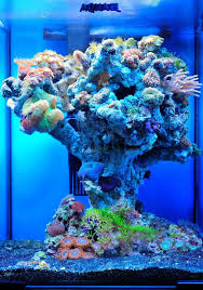 Coral Reef Home Decor Coral Zoanthids U2013 Photosynthetic Gorgs They Grow Quite Fast