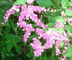 native mexican plants amazon com antigonon leptopus 10 seeds coral vine flowering