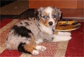 mini australian shepherd 8 weeks miniature australian shepherd dog breed pictures 1