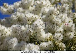 masses white fluffy flowers australian melaleuca stock photo