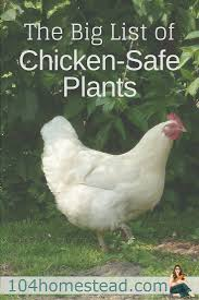 the big list of chicken safe plants