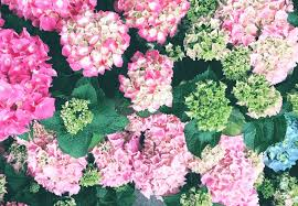 pink hydrangea hydrangea meaning and symbolism ftd