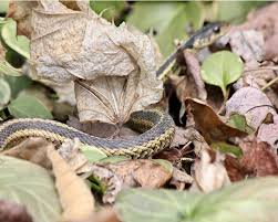 How To Avoid Snakes In Backyard How To Get Rid Of Snakes Complete Snake Repellent Guide For 2016