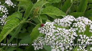plants native to michigan deadly plant identification water hemlock youtube