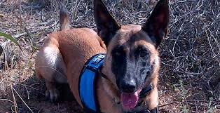 belgian shepherd rescue south africa capenature launches first conservation detection dog project for