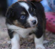 australian shepherd illinois chase n it farm mini aussies puppies