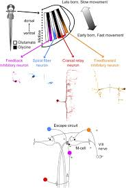 Fast Mapping Mapping A Sensory Motor Network Onto A Structural And Functional