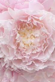 Peony Flowers by Pink Peonies Lovely Pinterest Peony Flowers And Pastel Pink