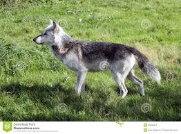 wolf side profile landscape stock photo 34230478 megapixl