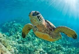 imagenes tortugas verdes tortugas verdes marinas dejan de estar en peligro de extinción en