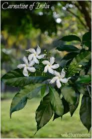 154 best herberium images on pinterest herbs jasmine and diabetes