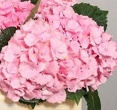 pink hydrangea hydrangea baby pink qty 30 4 75 new york flower