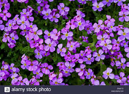 aubretia flowers a compact mat forming spreading hardy perennial
