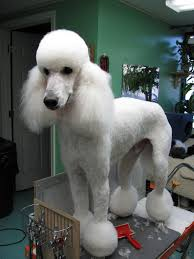 different toy poodle cuts shaved down and pom poms at the feet great for summer time