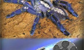 suggests blue hue for tarantulas not about attracting a mate