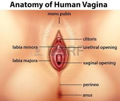 Female Sexual Anatomy Pictures Human Female Reproductive System Images U0026 Stock Pictures Royalty