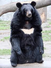 asian black bear wikipedia