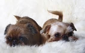 affenpinscher vs brussels griffon brussels griffon puppies breed information u0026 puppies for sale