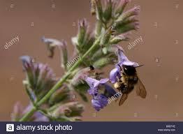 Catnip Flower - solitary bee on catnip flower nepenta cataria stock photo