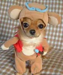 Chihuahua Halloween Costume Pictures Dogs Wearing Halloween Costumes Dog Guide