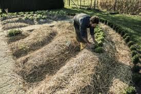 best mulch for vegetable garden gardening ideas