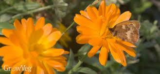 Calendula Flowers The Many Uses Of Calendula