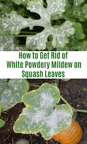 Squash Plant Diseases Pictures - how to get rid of white powdery mildew on squash leaves one