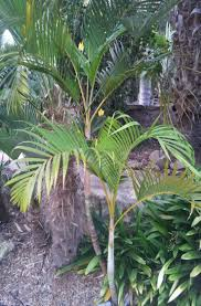 the areca palm dypsis lutescens