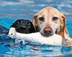 australian shepherd like water water dog breeds dogs that love water