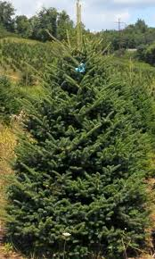 christmas trees u0026 christmas wreaths brungot farms
