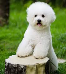 bichon frise breed standard bichon frise dog breed information and images k9 research lab